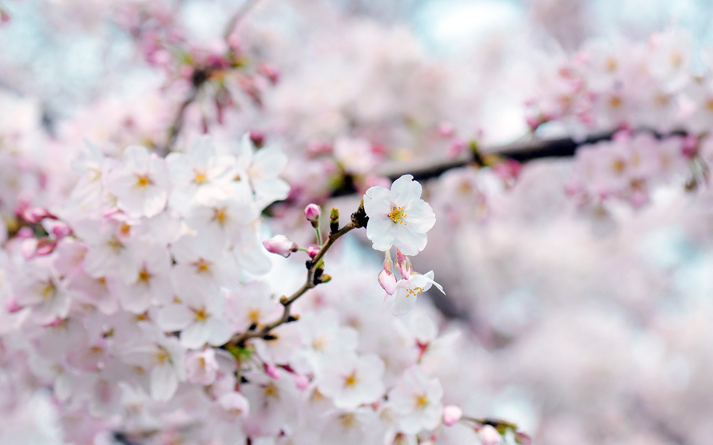 nx70-cherry-blossom-flower-spring-tree-bokeh-nature-wallpaper