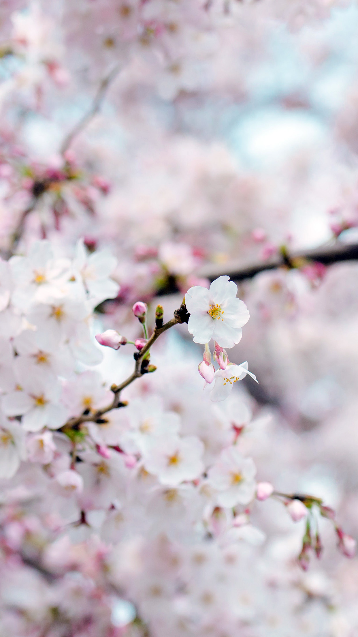 Nx70 Cherry Blossom Flower Spring Tree Bokeh Nature Wallpaper