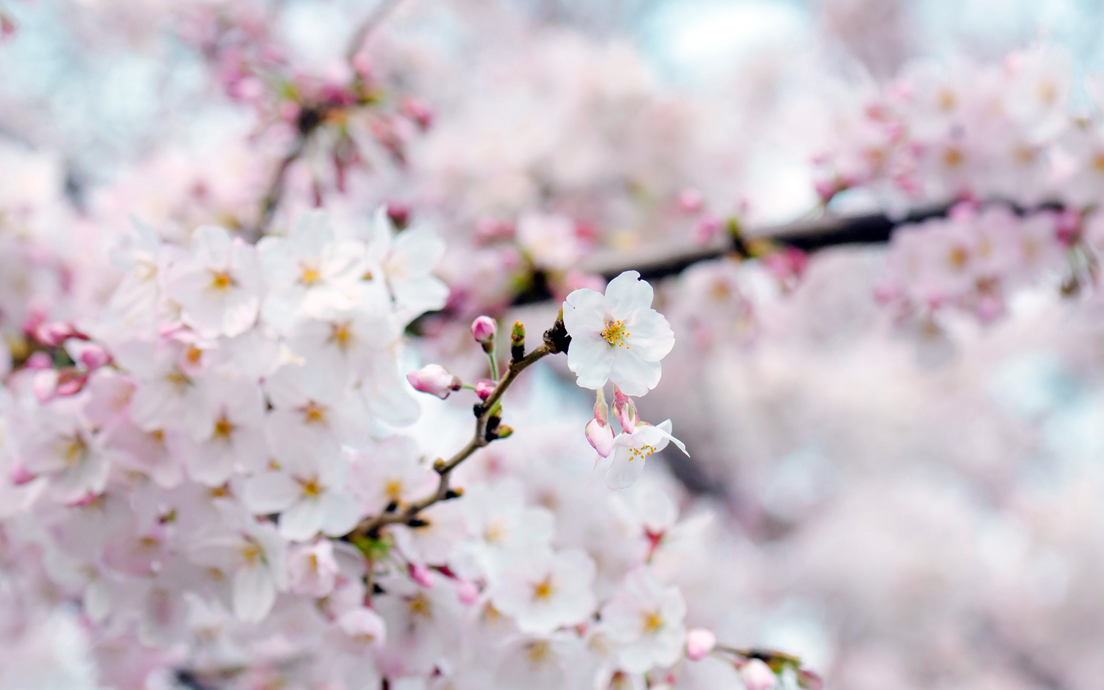 nx70-cherry-blossom-flower-spring-tree-bokeh-nature-wallpaper