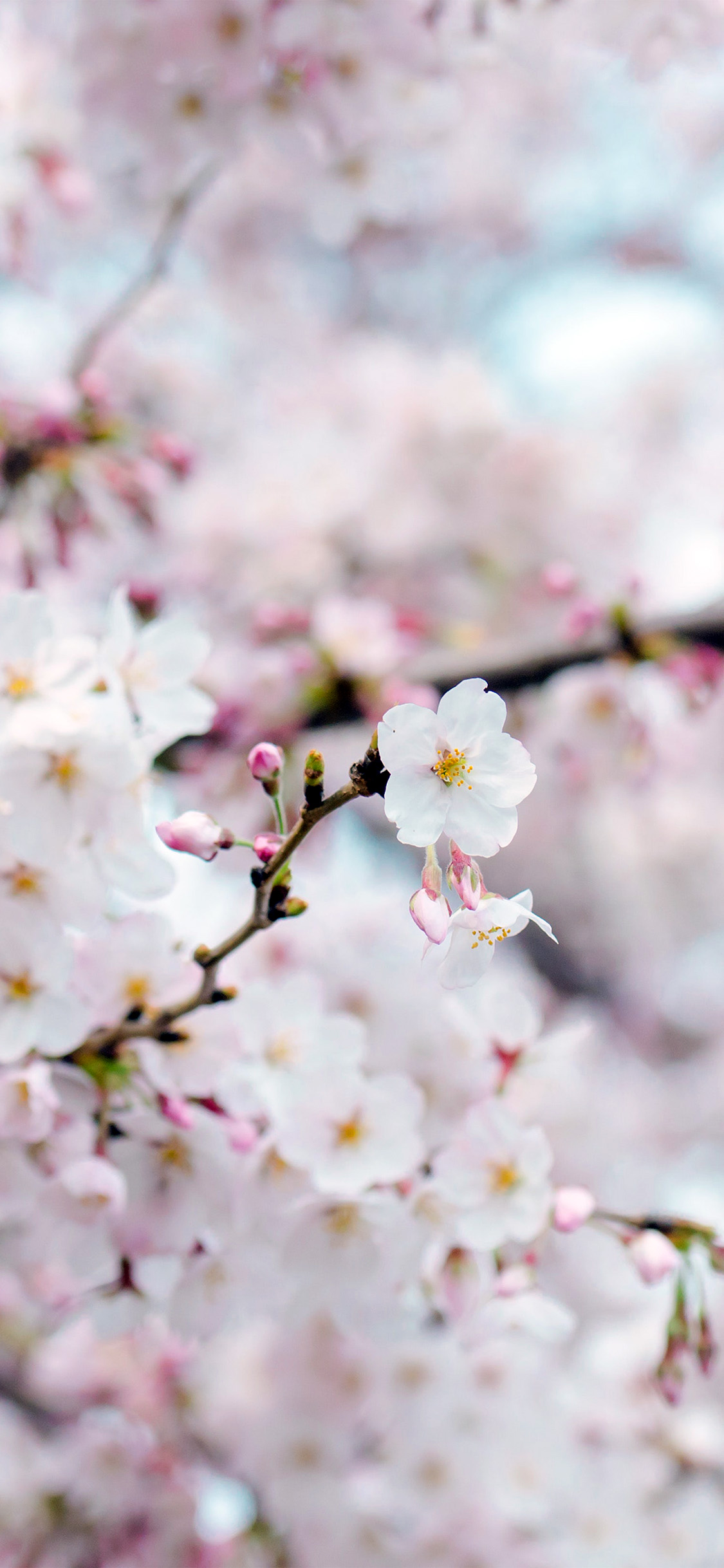 iPhonexpapers.com-Apple-iPhone-wallpaper-nx70-cherry-blossom-flower-spring-tree-bokeh-nature
