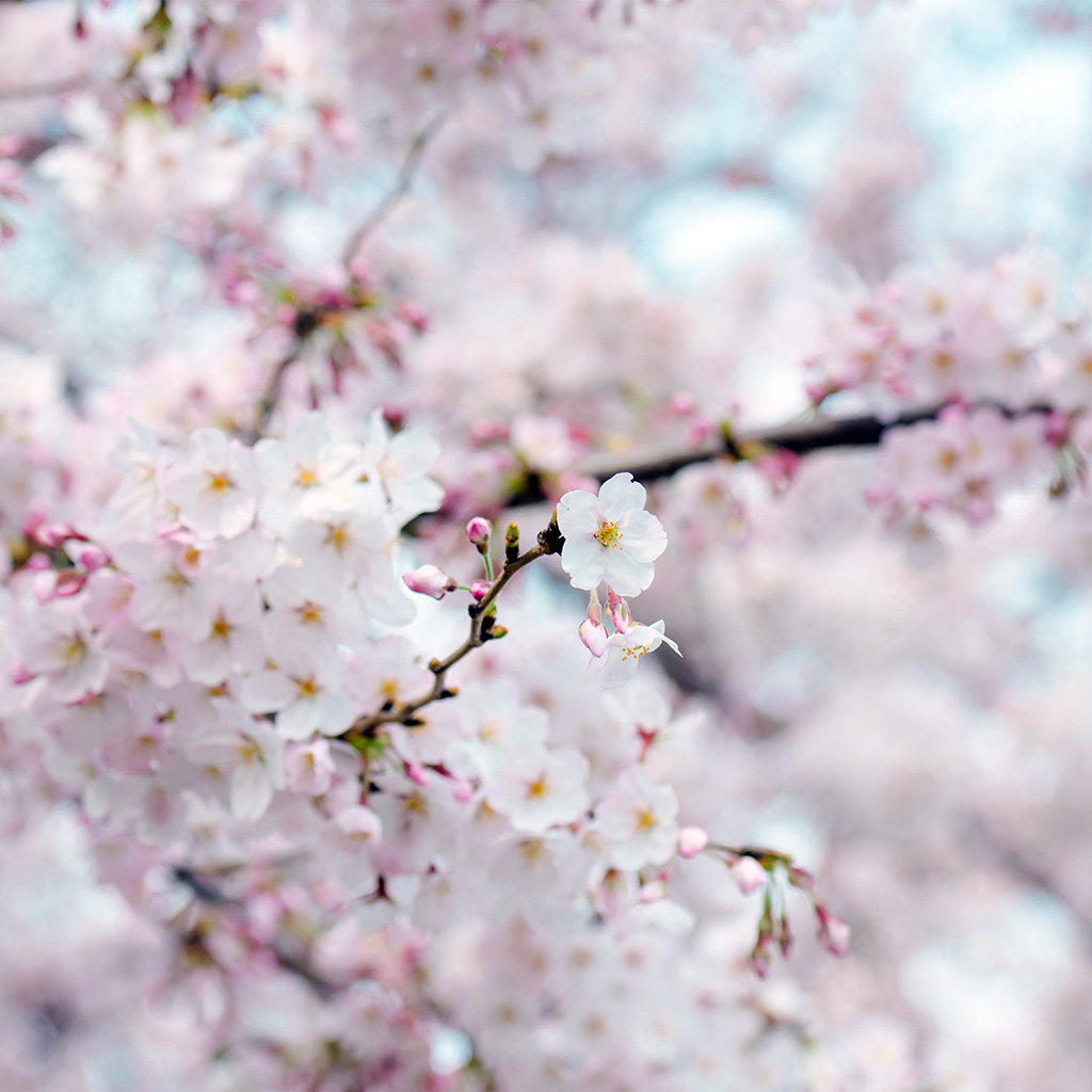 android-wallpaper-nx70-cherry-blossom-flower-spring-tree-bokeh-nature-wallpaper