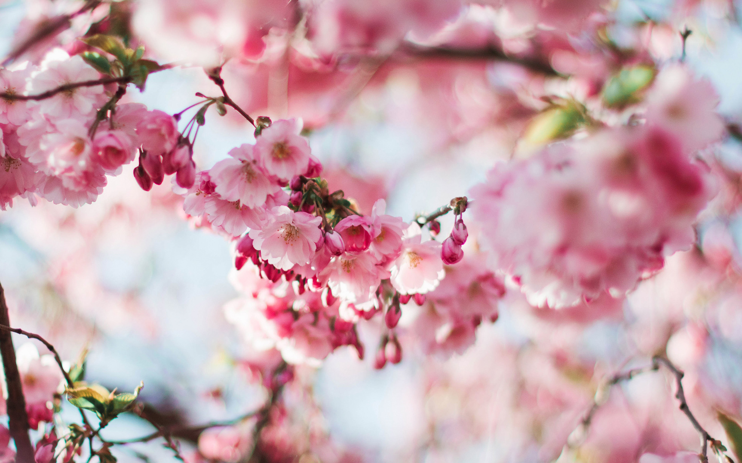 nx72-spring-cherry-blossom-tree-flower-pink-nature-wallpaper