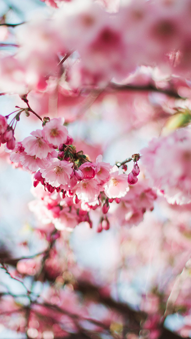 freeios8.com-iphone-4-5-6-plus-ipad-ios8-nx72-spring-cherry-blossom-tree-flower-pink-nature