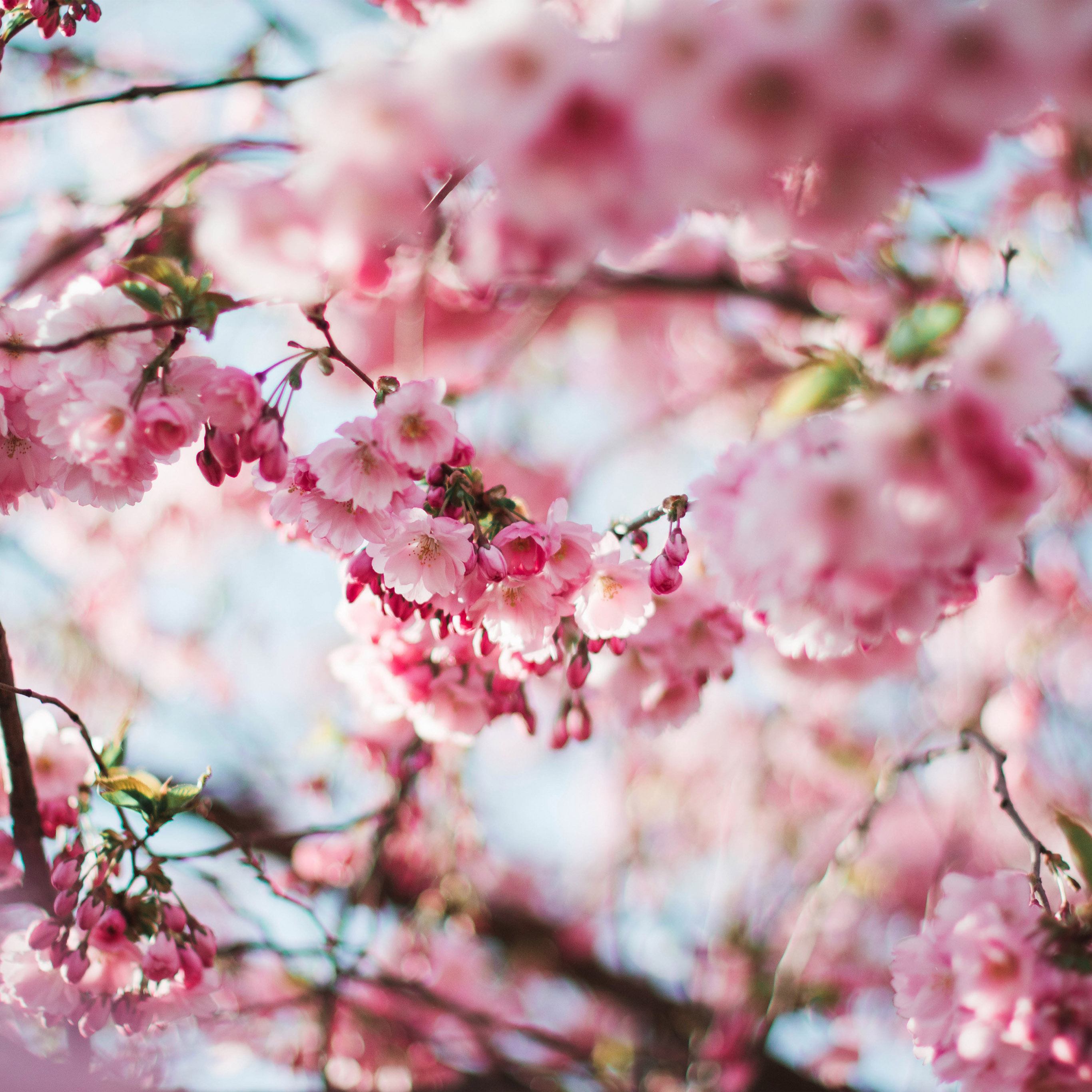 Nx72 Spring Cherry Blossom Tree Flower Pink Nature Wallpaper