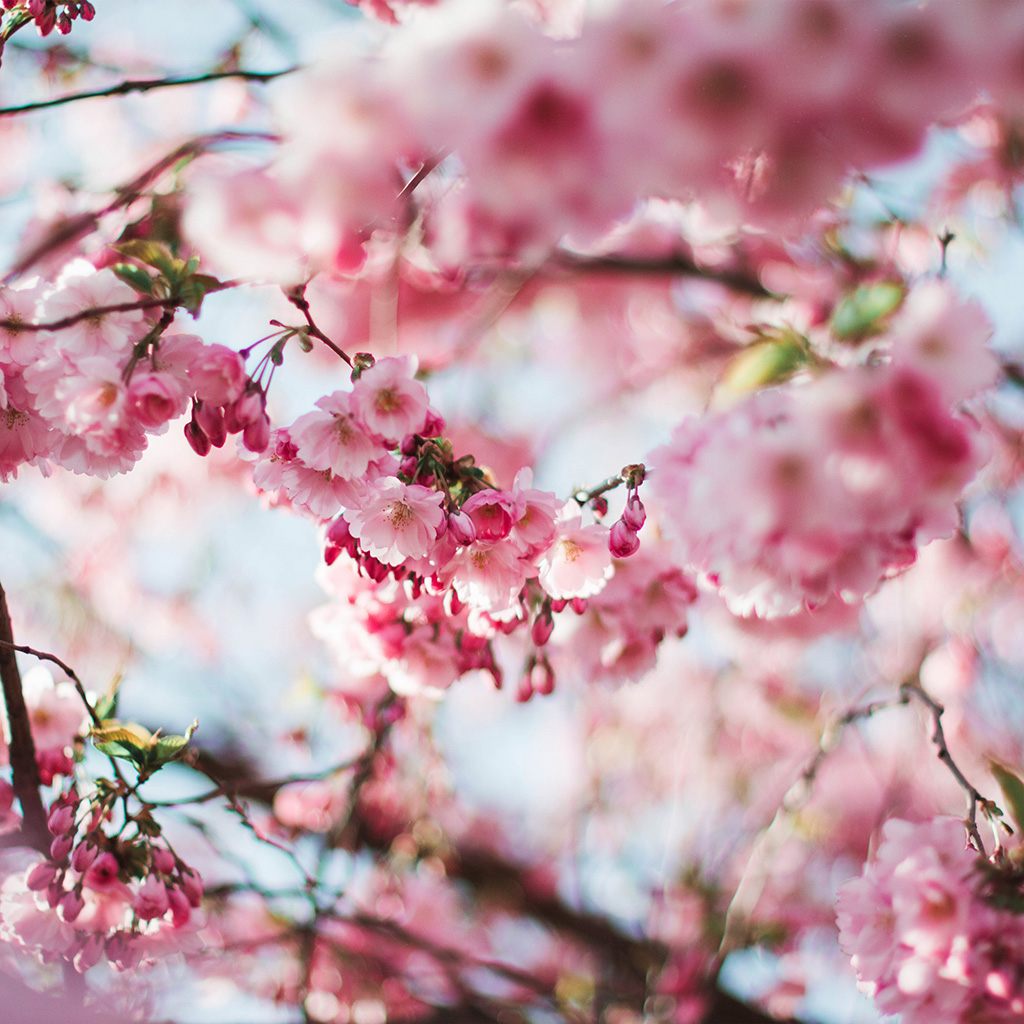 wallpaper-nx72-spring-cherry-blossom-tree-flower-pink-nature-wallpaper