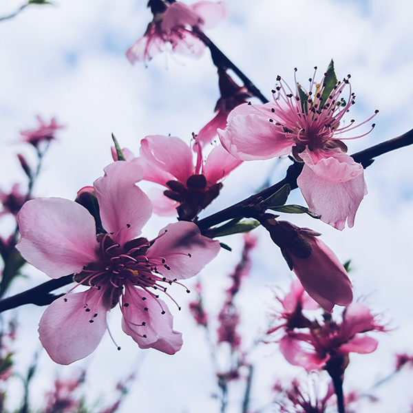 iPapers.co-Apple-iPhone-iPad-Macbook-iMac-wallpaper-nx94-flower-blossom-cherry-spring-nature-wallpaper