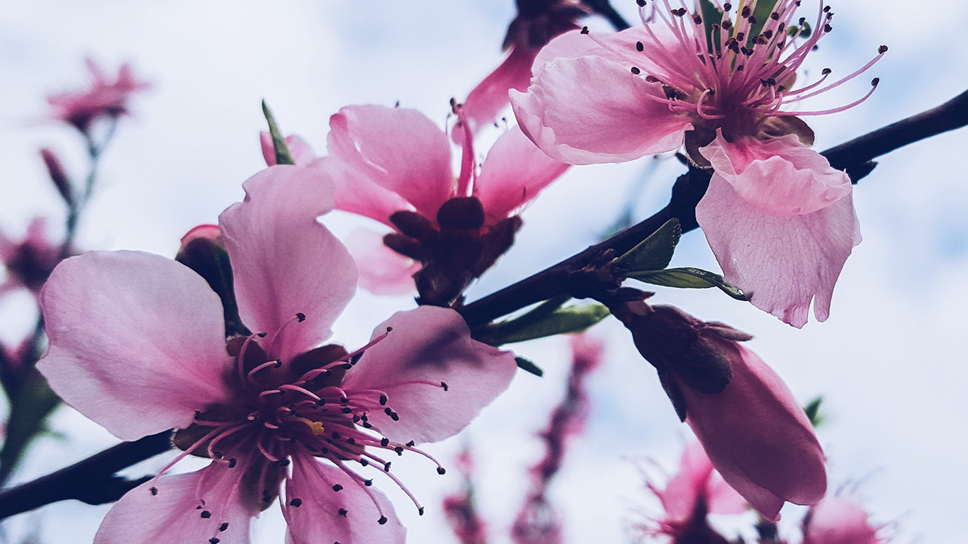 wallpaper-desktop-laptop-mac-macbook-nx94-flower-blossom-cherry-spring-nature