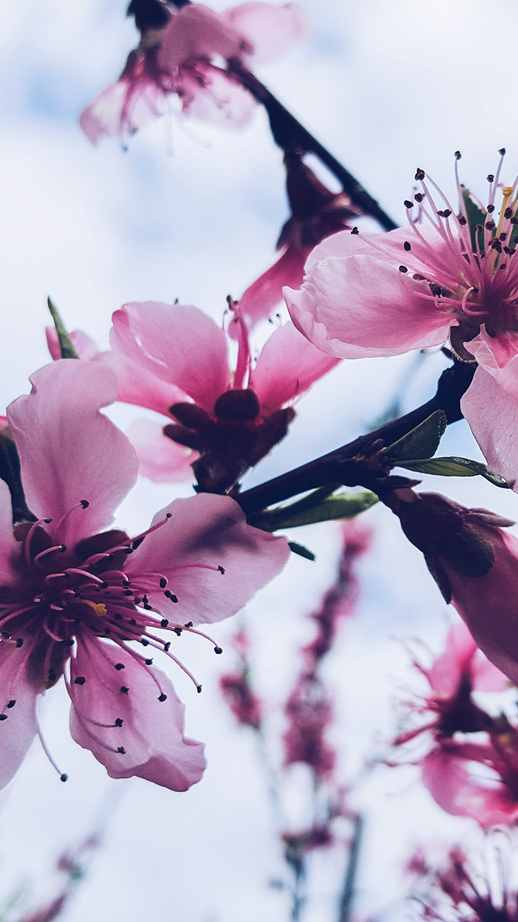 iPhone6papers.co-Apple-iPhone-6-iphone6-plus-wallpaper-nx94-flower-blossom-cherry-spring-nature