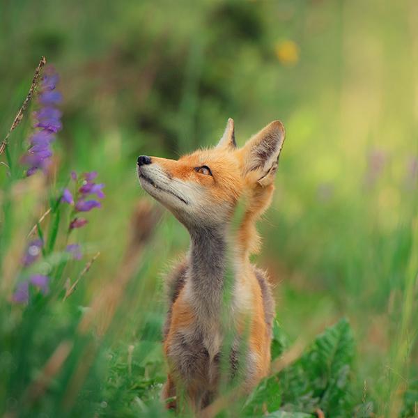 iPapers.co-Apple-iPhone-iPad-Macbook-iMac-wallpaper-nz39-little-fox-animal-cute-nature-wallpaper