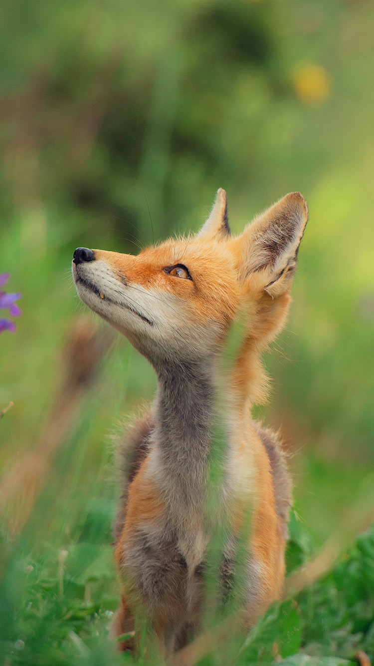 iPhone6papers.co-Apple-iPhone-6-iphone6-plus-wallpaper-nz39-little-fox-animal-cute-nature