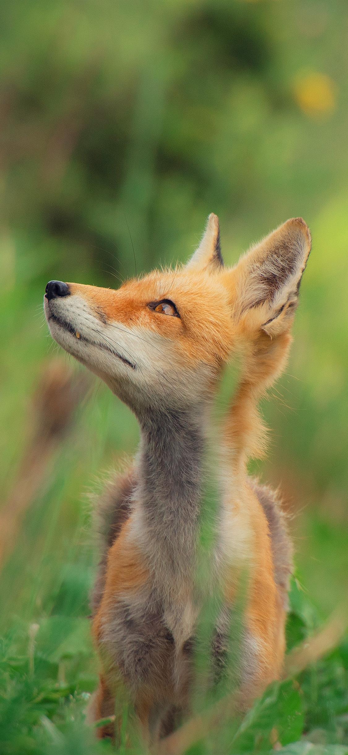 iPhonexpapers.com-Apple-iPhone-wallpaper-nz39-little-fox-animal-cute-nature
