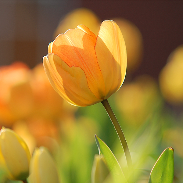 iPapers.co-Apple-iPhone-iPad-Macbook-iMac-wallpaper-nz42-flower-spring-tulip-orange-nature-wallpaper