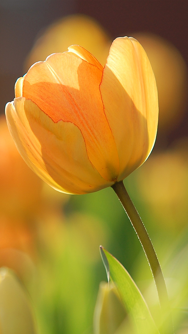 freeios8.com-iphone-4-5-6-plus-ipad-ios8-nz42-flower-spring-tulip-orange-nature