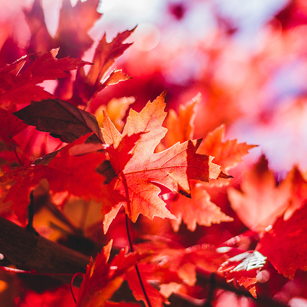 iPapers.co-Apple-iPhone-iPad-Macbook-iMac-wallpaper-oa28-maple-leaf-flower-red-fall-autumn-nature-wallpaper