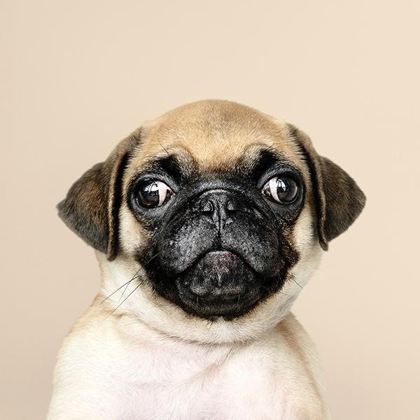 iPapers.co-Apple-iPhone-iPad-Macbook-iMac-wallpaper-oc05-animal-dog-pug-cute-nature-wallpaper