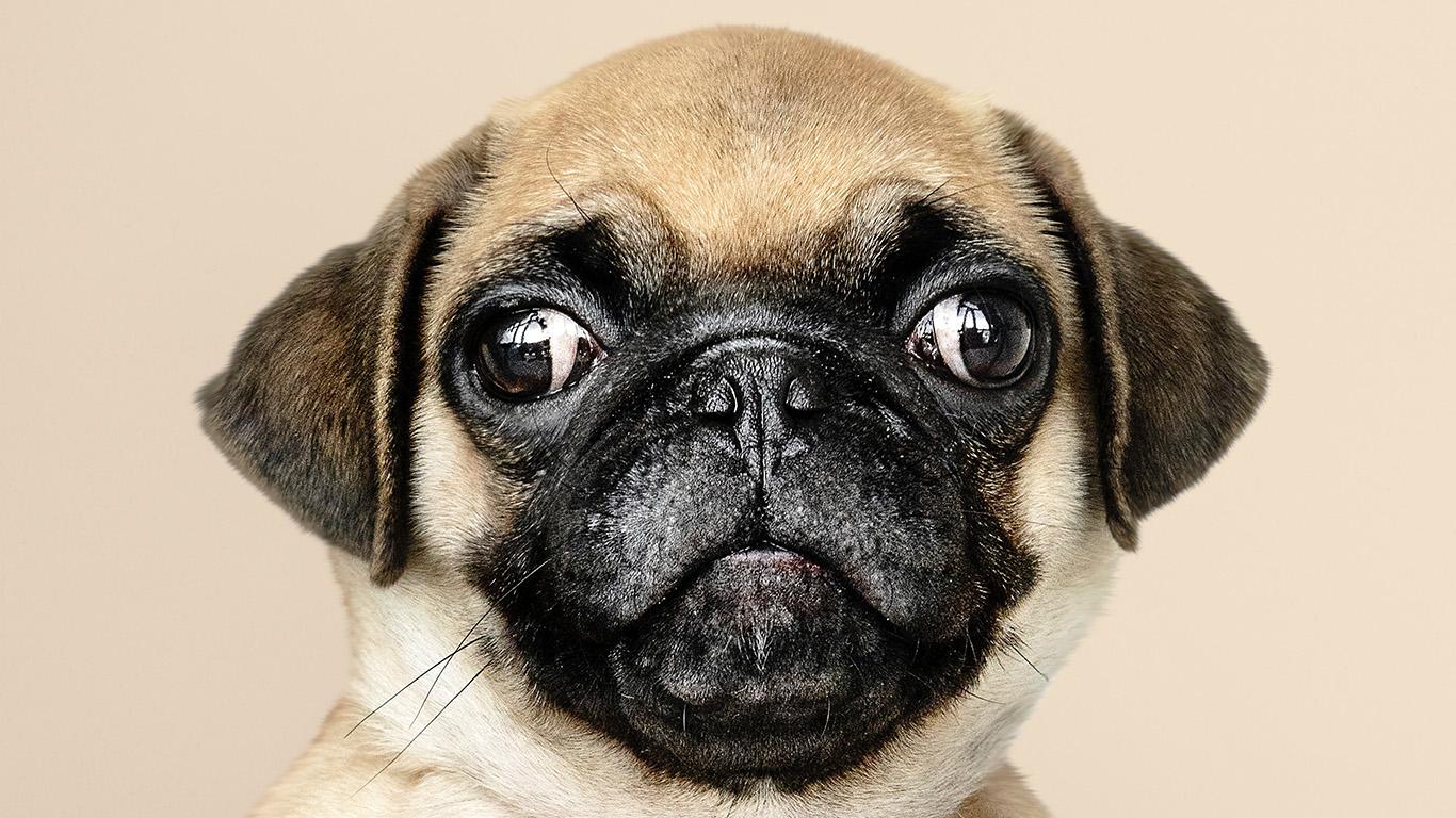 desktop-wallpaper-laptop-mac-macbook-air-oc05-animal-dog-pug-cute-nature-wallpaper