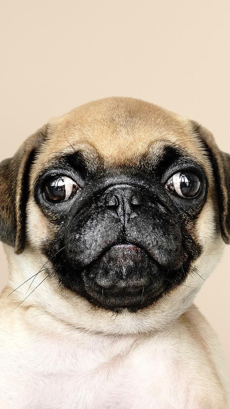 iPhone7papers.com-Apple-iPhone7-iphone7plus-wallpaper-oc05-animal-dog-pug-cute-nature