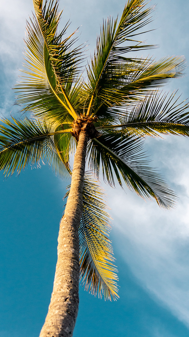 Papers.co-iPhone5-iphone6-plus-wallpaper-oc46-tree-summer-palm-sky-sunny-nature