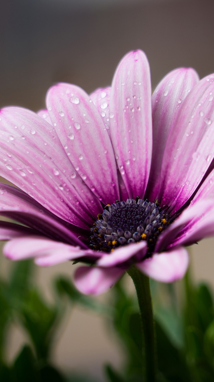 iPhone7papers.com-Apple-iPhone7-iphone7plus-wallpaper-oc99-flower-purple-spring-nature