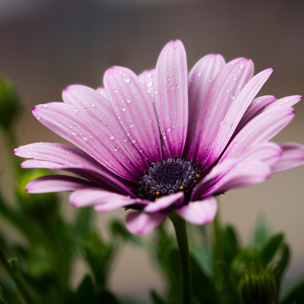 wallpaper-oc99-flower-purple-spring-nature-wallpaper
