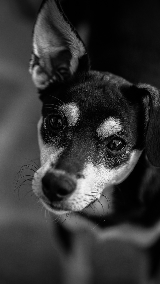 freeios8.com-iphone-4-5-6-plus-ipad-ios8-od00-nature-dog-bw-dark-cute-animal