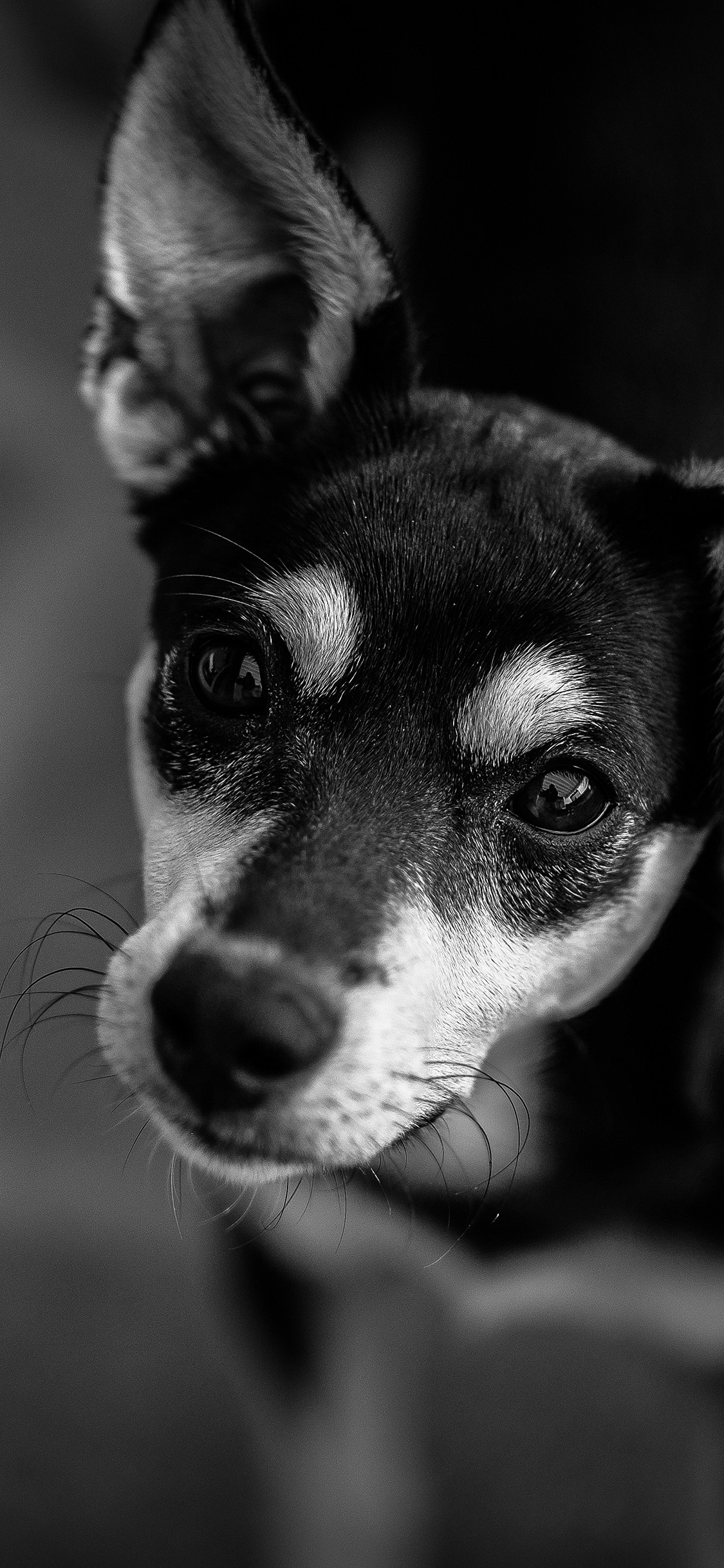 iPhonexpapers.com-Apple-iPhone-wallpaper-od00-nature-dog-bw-dark-cute-animal