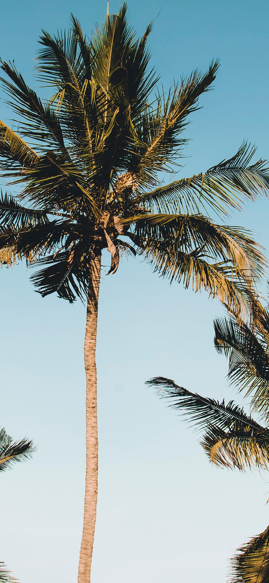 iPhonexpapers.com-Apple-iPhone-wallpaper-od88-nature-coconut-tree-summer