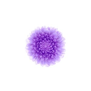 papers.co-ac95-wallpaper-apple-iphone6-plus-ios8-flower-purple-1-wallpaper