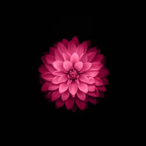 papers.co-ad40-apple-red-lotus-iphone6-plus-ios8-flower-1-wallpaper