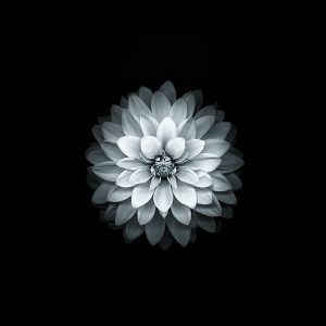 papers.co-ad41-apple-white-lotus-iphone6-plus-ios8-flower-1-wallpaper