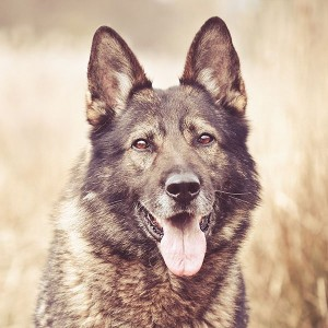 papers.co-mo05-my-shepherds-dog-smile-animal-nature-1-wallpaper