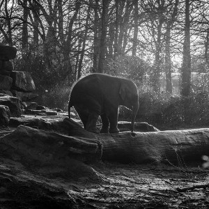 papers.co-mw67-elephant-dark-bw-animal-cute-nature-baby-1-wallpaper