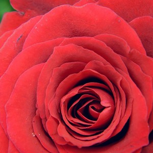 papers.co-nb73-rose-red-flower-nature-love-1-wallpaper